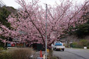ほぼ満開の城ヶ崎桜
