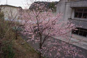 富戸小学校の城ヶ崎桜