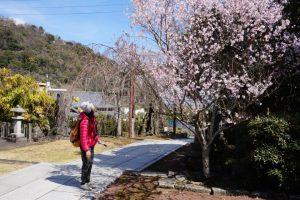 「龍豊院」の「桜」
