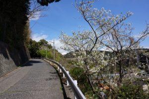 坂道の途中の「大島桜」