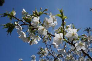 「大島桜」の花