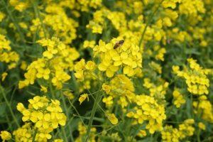 「菜の花」にとまるミツバチ