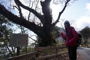 御神木の龍神桜