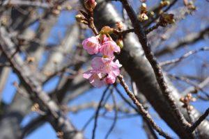 咲き始めの桜とアブ