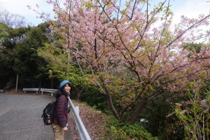 上り坂の桜